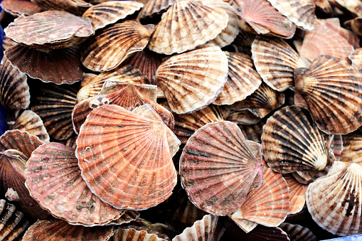 Pile of scallop shells
